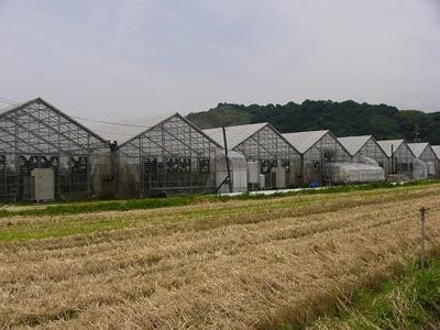 バラを栽培する温室の一部です。約3800坪のバラ園で栽培しています。